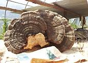 장식용 말굽버섯